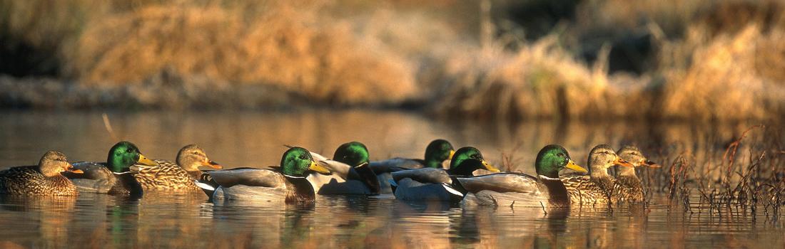 duck_header