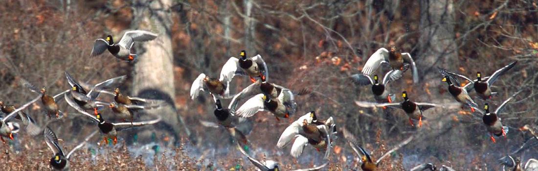 duck_header2